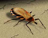 The Triatomine bug of kissing bug.  Photo courtesy Univ of Texas.
