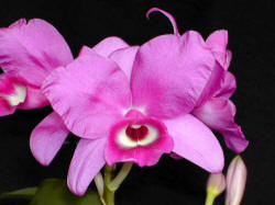 National flower of Costa Rica, the guaria morada, or Cattleya skinneri