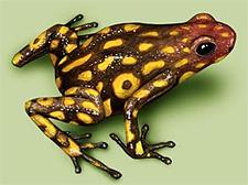 Harlequin Frog - Poison Dart Frog